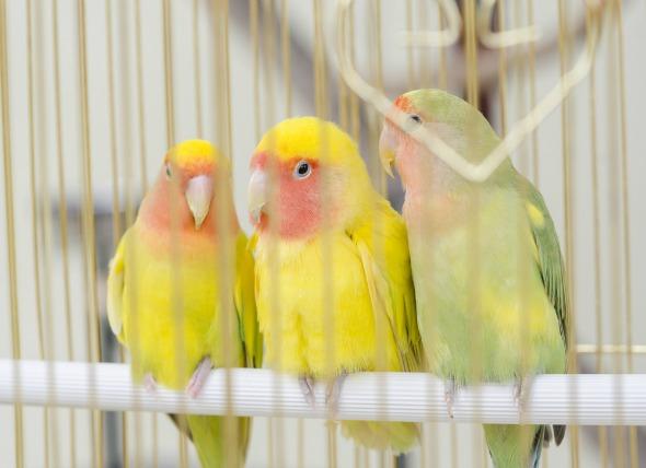 El poliomavirus en las aves