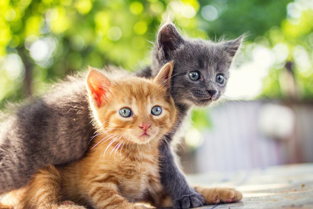 El virus de la coronación en los gatos