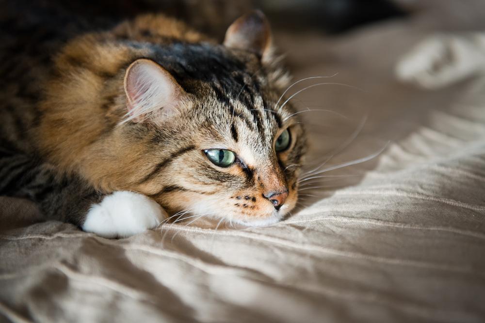 virus del papiloma en gatos)