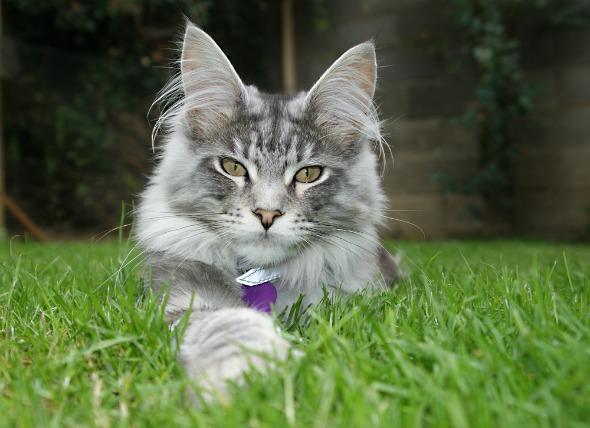 Enfermedad cardíaca (miocardiopatía hipertrófica) en gatos
