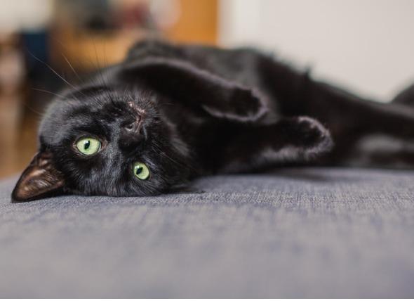 Enfermedad del gusano del corazón en los gatos: Causas, síntomas, tratamiento y prevención