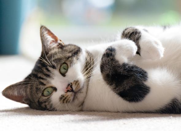 Enfermedad inflamatoria intestinal (EII) en gatos: Causas, síntomas y tratamiento