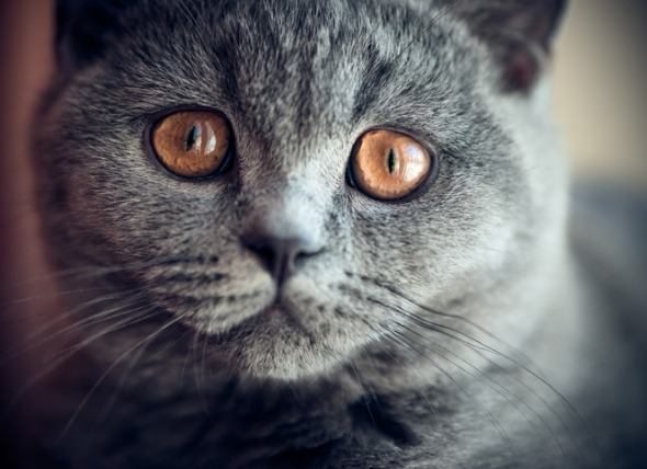 Enfermedades de los ojos en los gatos: Exoftalmos, enoftalmos y estrabismo