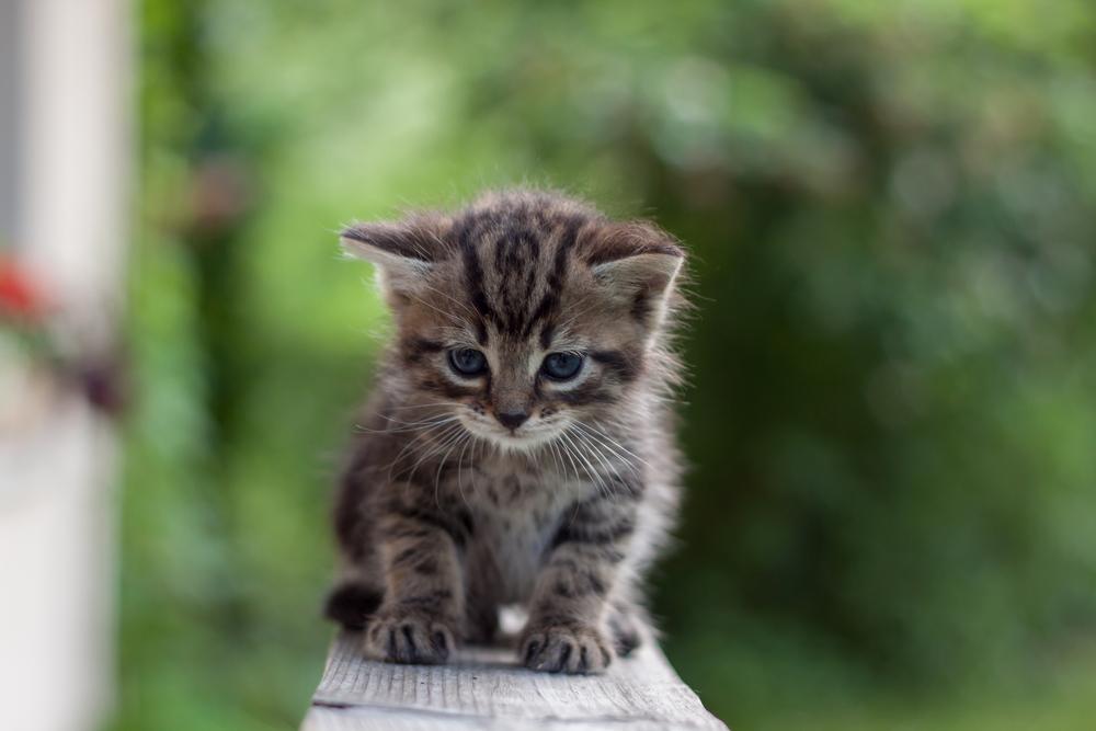 Hernia (Hiatal) en gatos