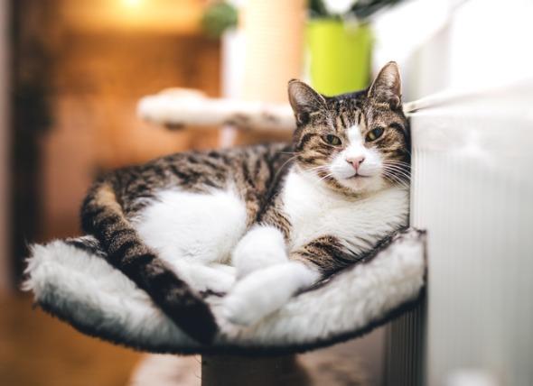 Hipertiroidismo en gatos: Síntomas y tratamiento