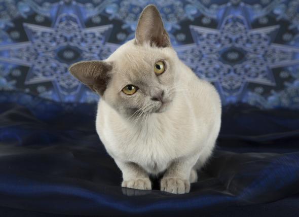 Inclinación de la cabeza, desorientación en los gatos