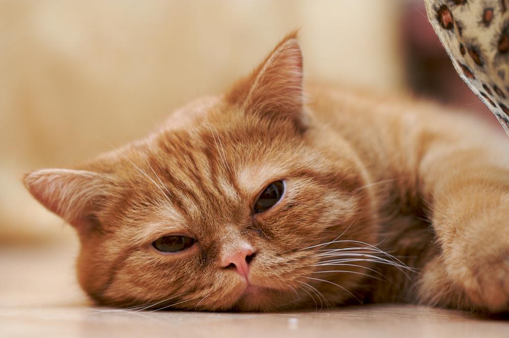 Infección por hongos (Aspergilosis) en gatos