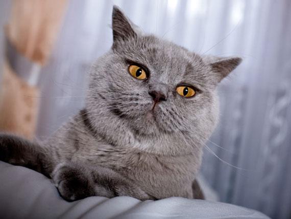 Infección por hongos (Malassezia pahydermatis) de la piel de los gatos