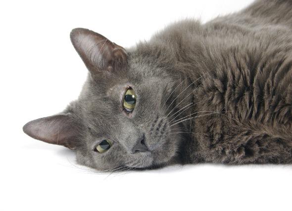 Inflamación de la vesícula biliar y de los conductos biliares en los gatos