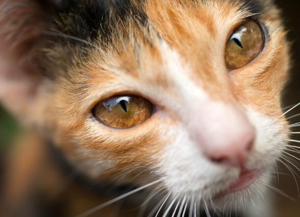 Inflamación de los ojos (Uveítis anterior) en gatos