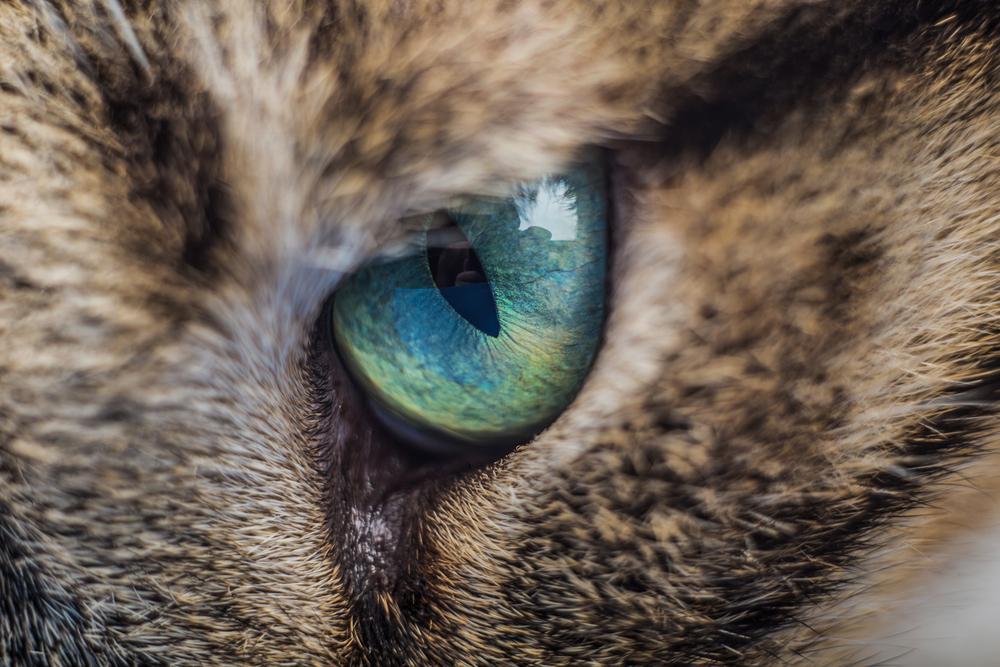 Inflamación de los ojos (conjuntivitis) en los gatos