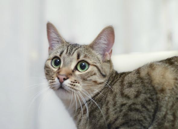 Inflamación del oído medio e interno en los gatos