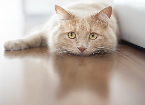 Inflamación del páncreas en los gatos
