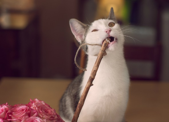 Ingestión de heces y objetos extraños en los gatos