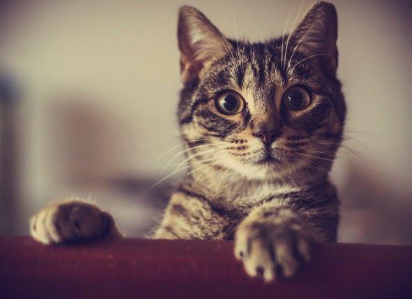Inmunodeficiencia felina (FIV) y SIDA felino