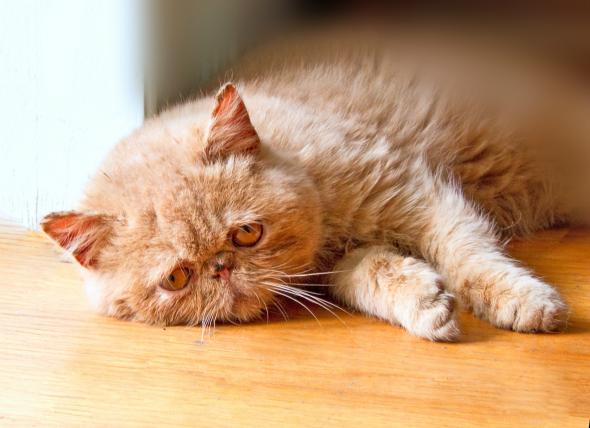 Intoxicación por etanol en gatos
