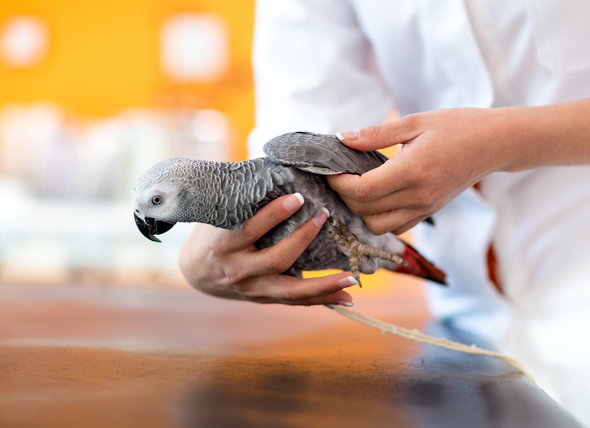 La enfermedad de Pacheco en las aves
