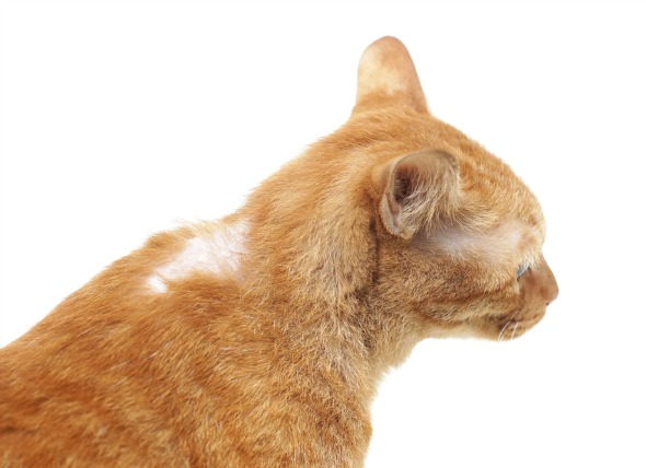 La pérdida de pelo relacionada con el cáncer en los gatos