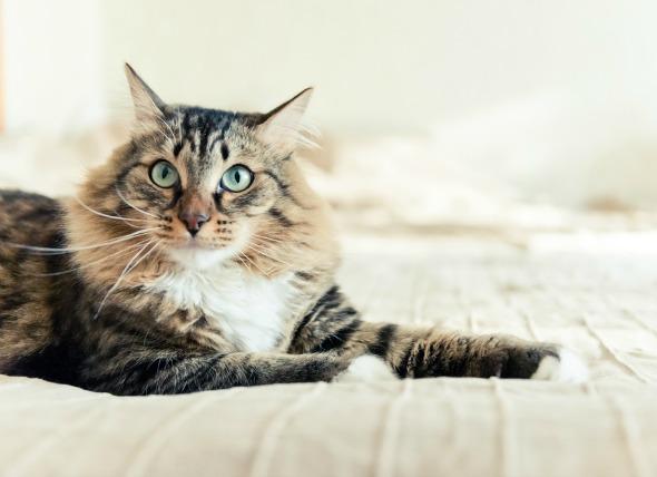 La presión arterial alta en los gatos