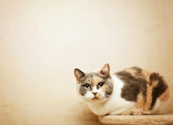 La presión arterial alta en los pulmones de los gatos
