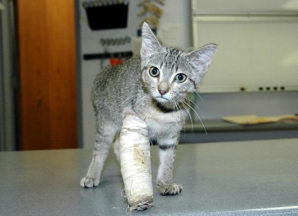 Lesión en la pierna delantera de los gatos