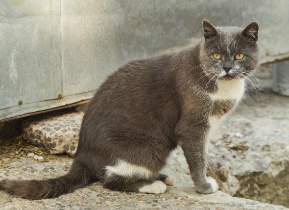 Líquido en el pecho (efusión pleural) en los gatos