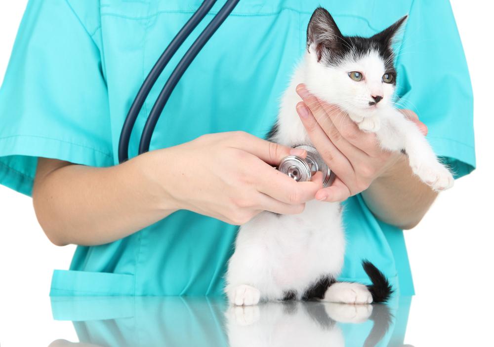 Los anquilostomas en los gatos