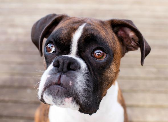 Parálisis del nervio facial en perros