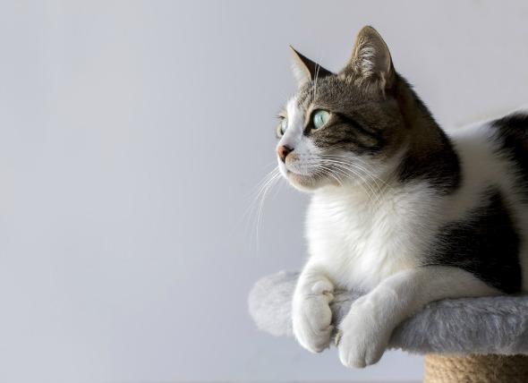 Presionar la cabeza en los gatos