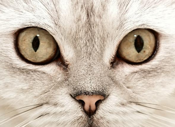 Protuberancia del párpado ('Cherry Eye') en gatos