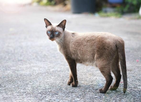 Tumores de piel grasa en gatos