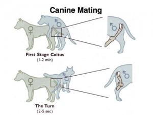¿Cómo se aparean los perros?