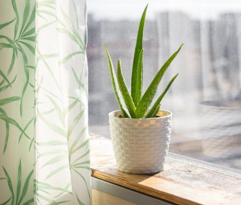 Planta suculenta de Aloe Vera