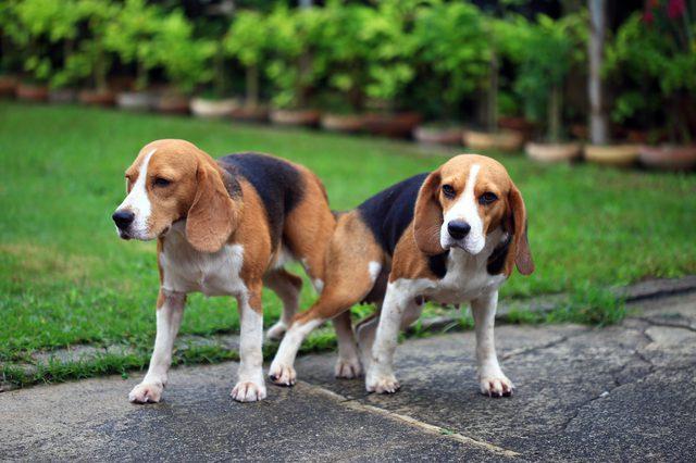 ¿Por qué los perros se atascan juntos cuando se crían?