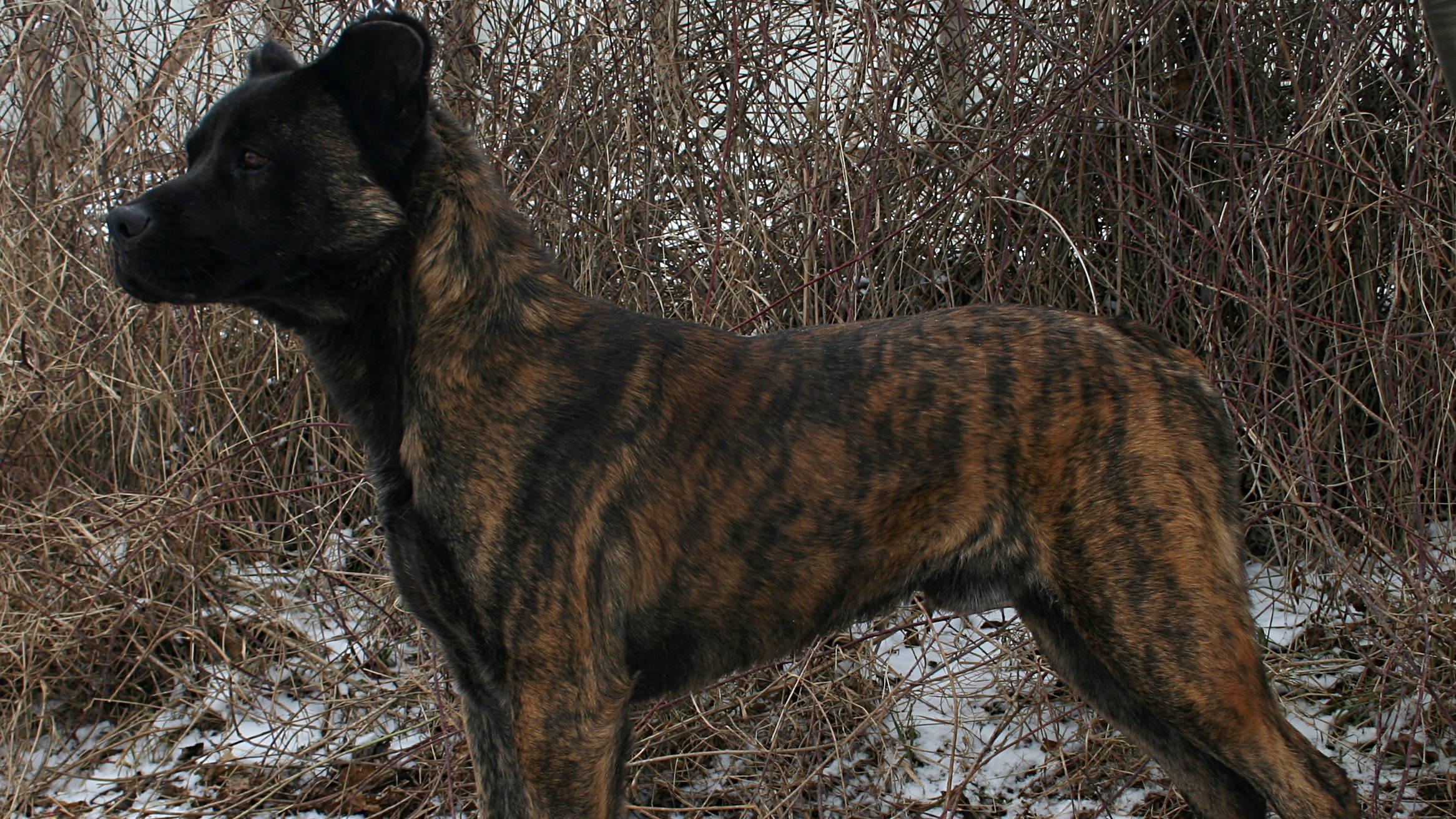 Azores Cattle Dog Información y fotos de esta raza de perro