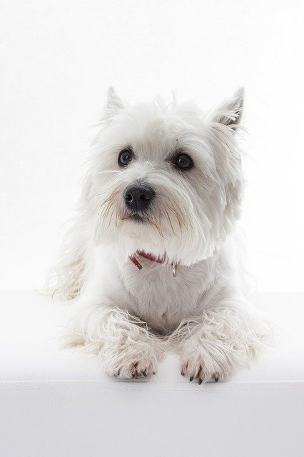 ¿Pueden los perros obtener ojos rosados de los humanos?